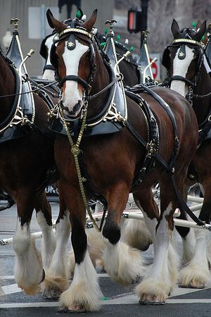 400px-Budweiser_Clydesdales_Boston